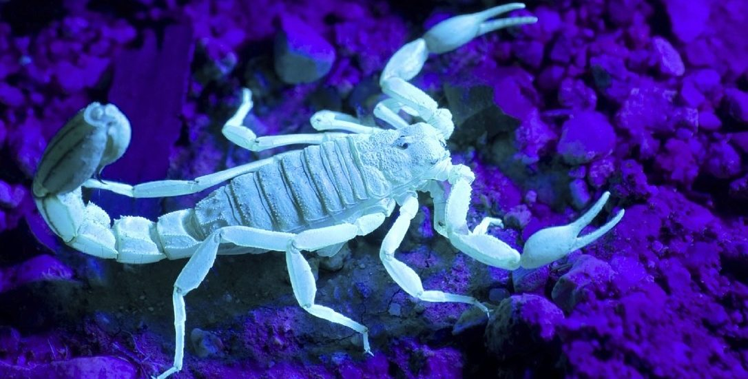 What-a-scorpion-looks-like-under-a-black-light