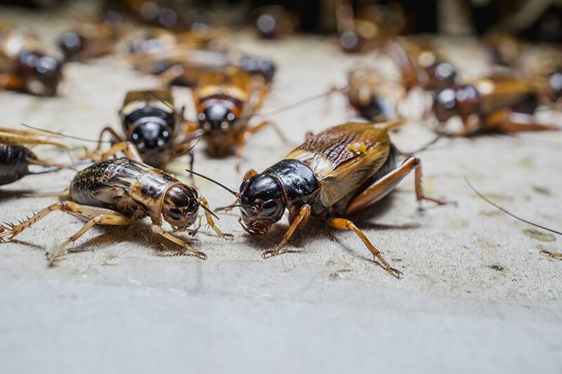 cricketextermination